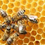 ミツバチの管理された集団体制に関する雑学