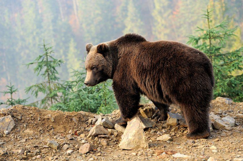 なぜクマは冬眠明けも骨が丈夫なままなのか?についてのトリビア