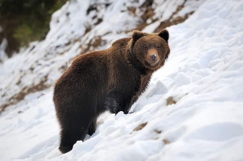 クマは冬眠中に出産できるぐらい栄養を蓄えられるというトリビア
