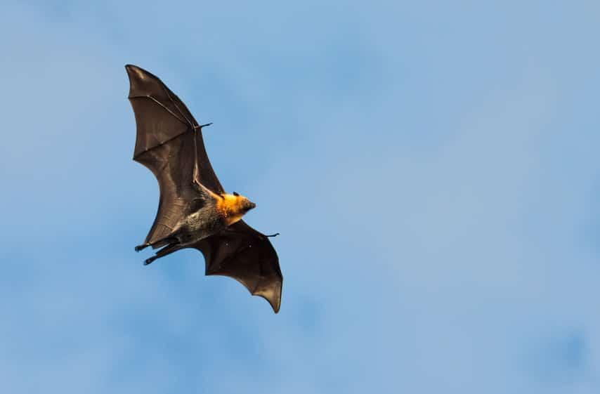コウモリは前足が進化して翼になったというトリビア