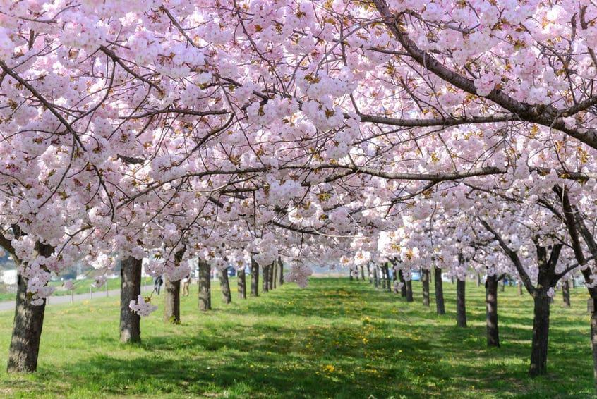 ソメイヨシノが桜の開花予想に使われる理由についてのトリビア