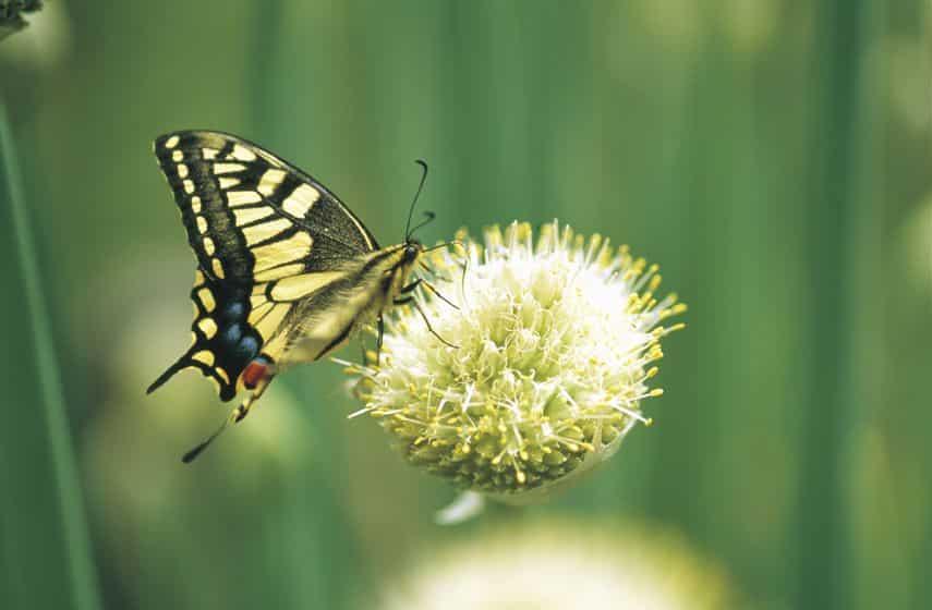 前足スゴい。アゲハチョウのメスには味覚がある!【動画あり】についての雑学まとめ