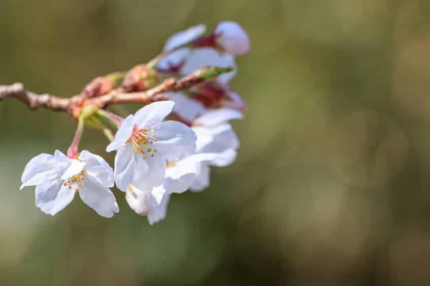 日本の桜の80%がクローン桜という雑学