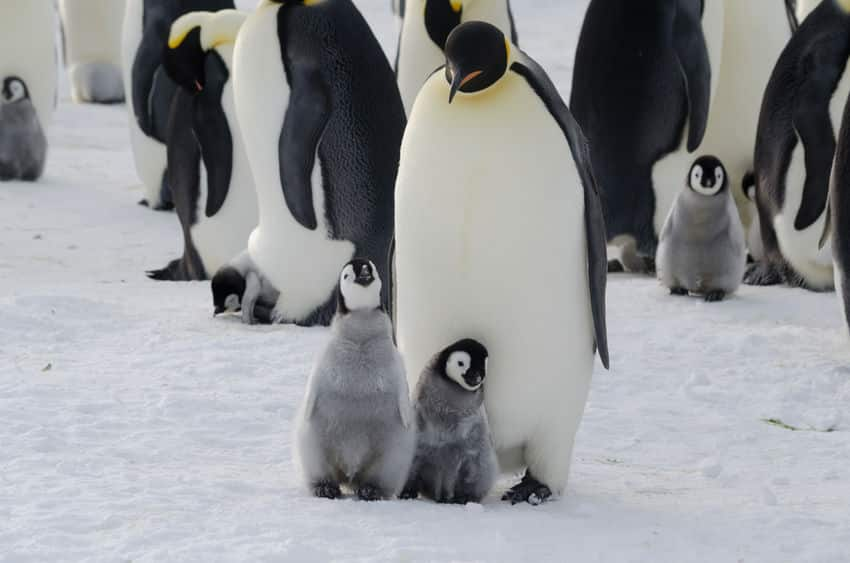 コウテイペンギンの過酷な子育てに関する雑学