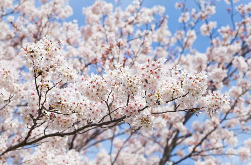 日本の代表的な桜・ソメイヨシノは同じ遺伝子をもつクローンについてのトリビア