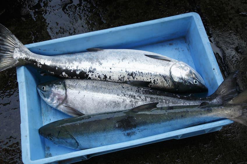 北海道ではサケの密漁で逮捕者が出ているというトリビア