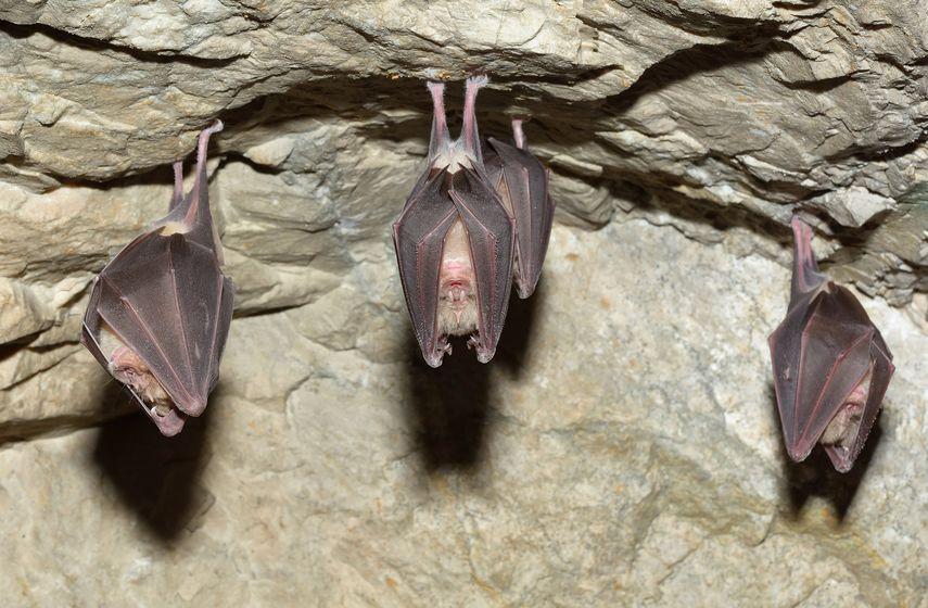 中国ではコウモリは縁起物についてのトリビア