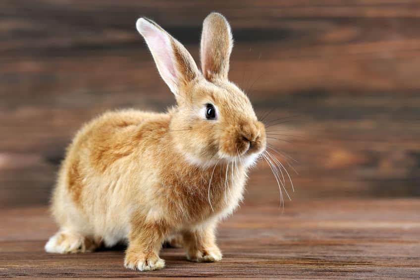 ウサギに肉球がないことに関する雑学