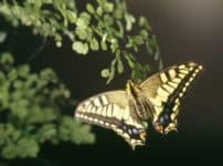 アゲハ蝶のメスは、前足で味覚を感じることができるという雑学