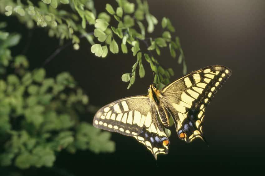 アゲハチョウのメスは、前足で味覚を感じることができるという雑学