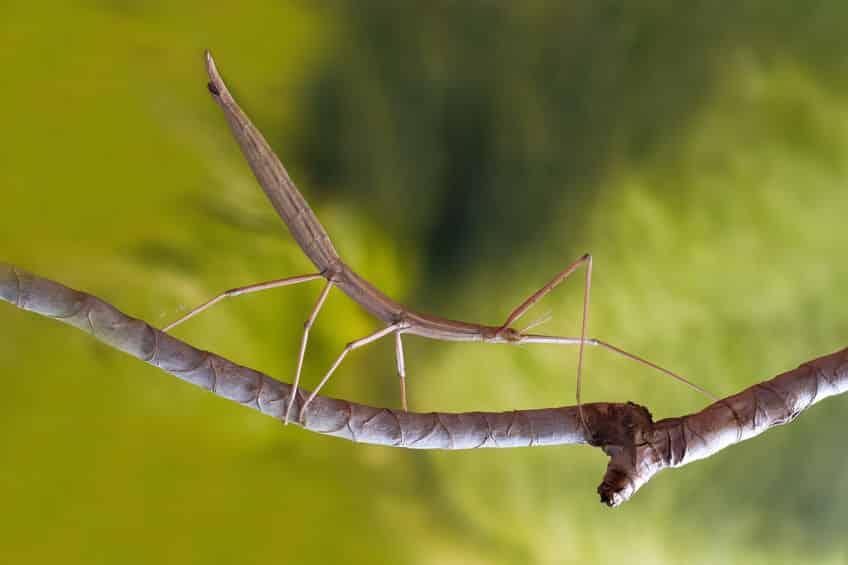 昆虫のナナフシはメスだけで産卵できるという雑学