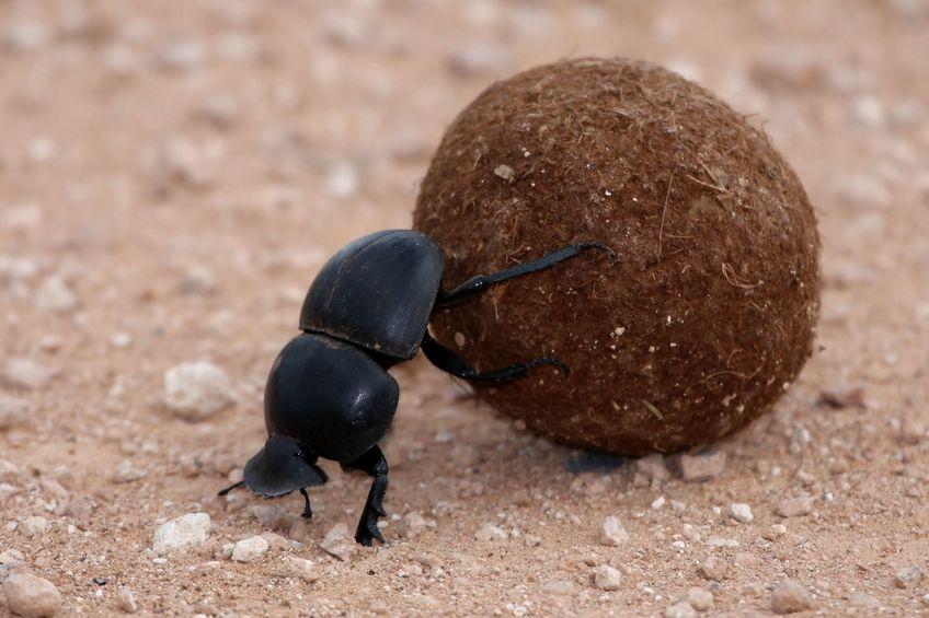 フンコロガシは、世界一力持ちの昆虫であるというトリビア