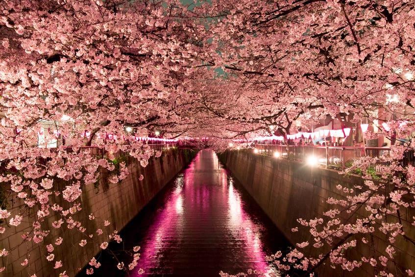 桜についての雑学まとめ