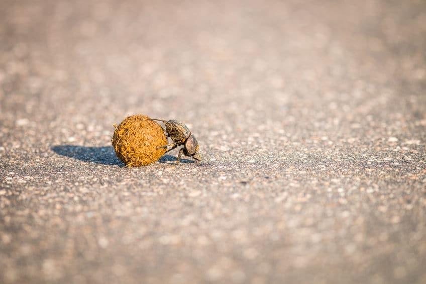 フンコロガシは見つけたフンをひとりじめするために、別の場所へ転がして運ぶというトリビア