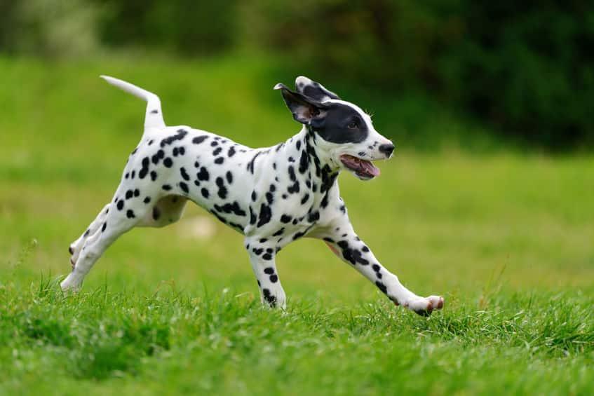 ダルメシアンはアメリカなどでは消防署のマスコット犬という雑学