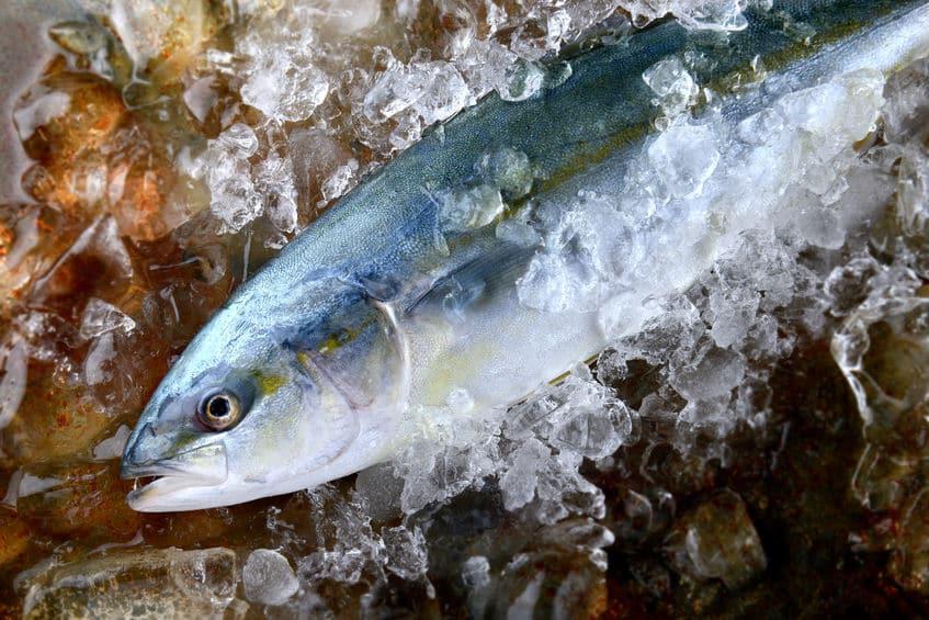 ブリとハマチは同じ魚という雑学