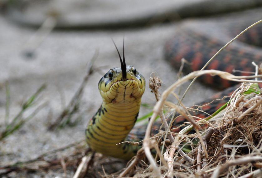 迅速な応急処置を!毒蛇に噛まれたときの対処法についての雑学まとめ