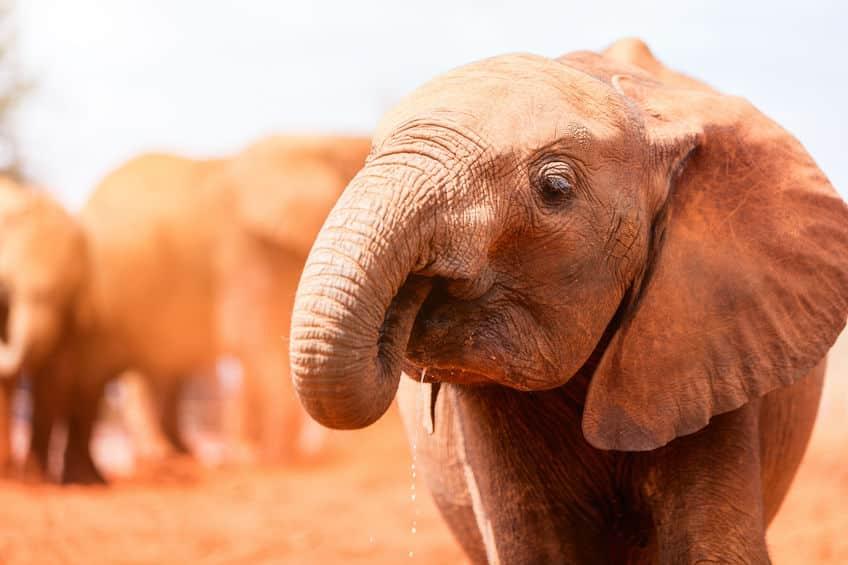 最も鼻が利く動物はゾウという雑学