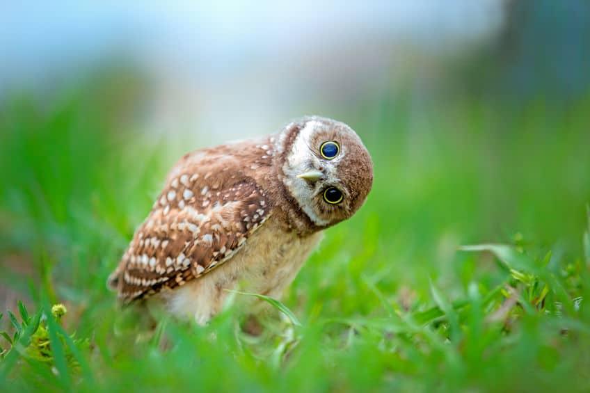 フクロウの首のヒミツは首の骨の数にあった!というトリビア