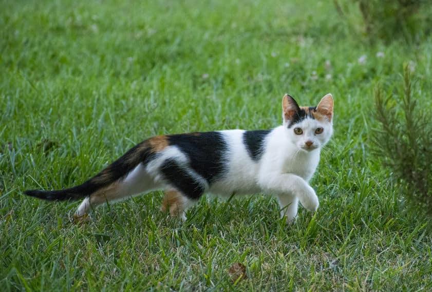 """【三毛猫】理由は""""染色体異常""""というトリビア"""