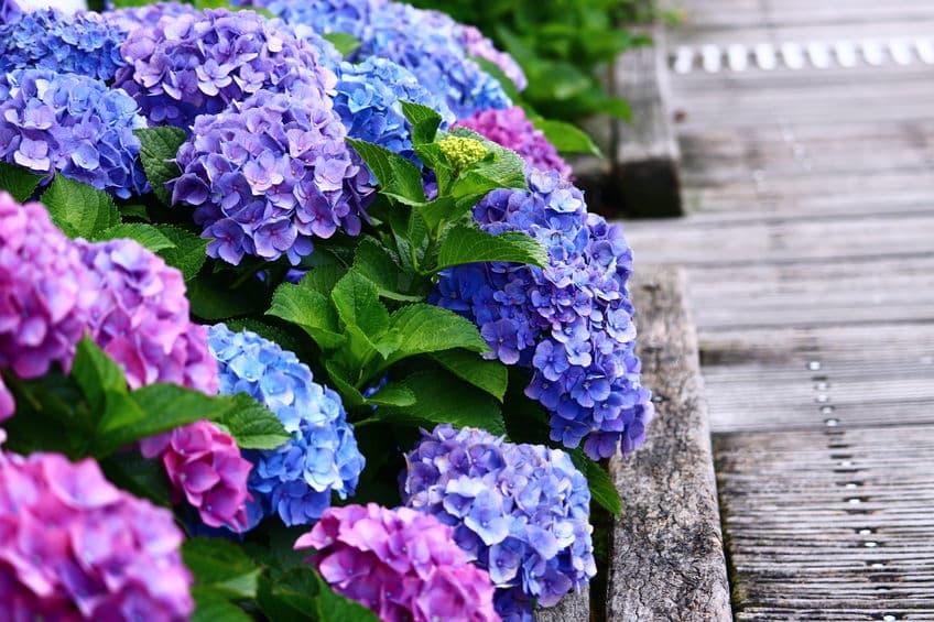 あじさいの花の色の秘密と花言葉に関する雑学まとめ