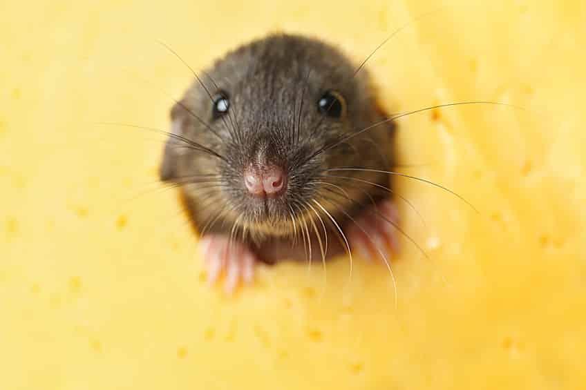 """ネズミはチーズが好きではない!""""トムとジェリー""""のイメージがついているという雑学まとめ"""