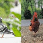 ハトやニワトリが頭を上下させて歩く理由に関する雑学