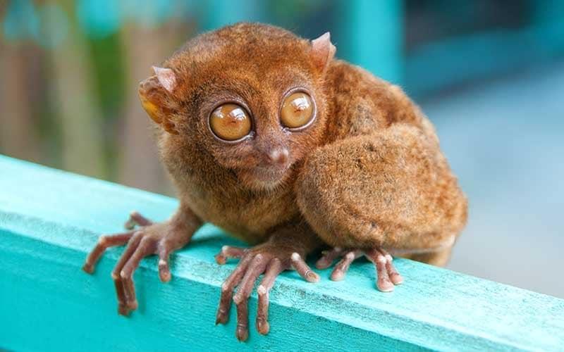 ターシャは絶滅危惧種として保護されているというトリビア