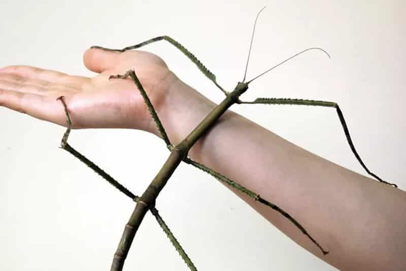 昆虫界最長のナナフシについてのトリビア