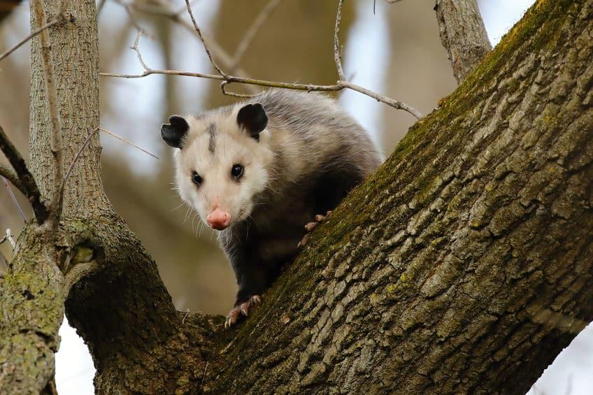 袋で子育てをするネズミ?オポッサムは自然界の実力派俳優についてのトリビア