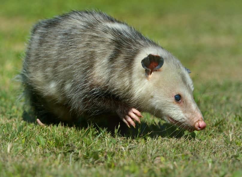 オポッサムという、死んだふりが得意な動物がいるという雑学
