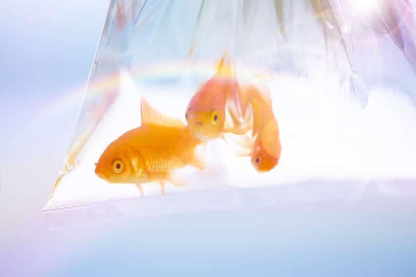 金魚すくいの金魚は「エサ用」の金魚?についてのトリビア