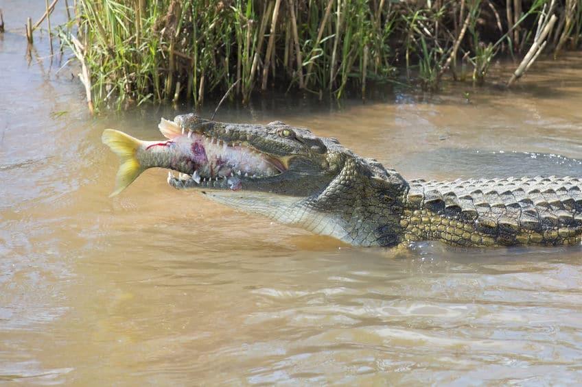 獲物を待つスタイルのため、噛む力に特化しすぎたというトリビア