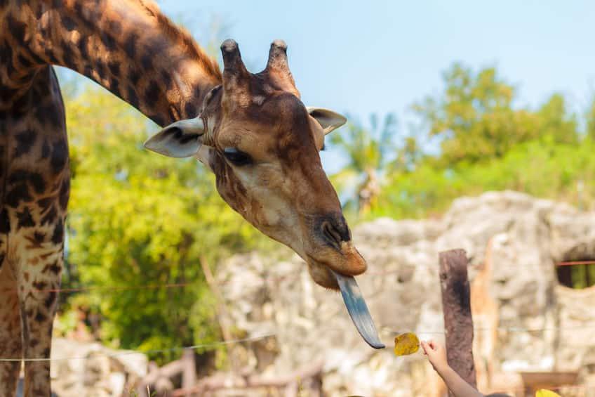 キリンの舌は40センチ以上あるという雑学
