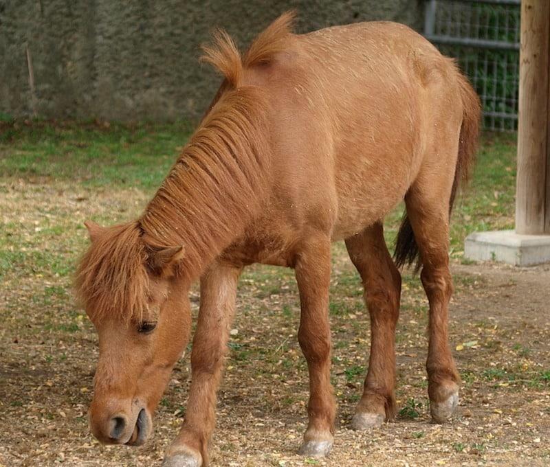 日本で一番小さい在来馬は「野間馬」という雑学