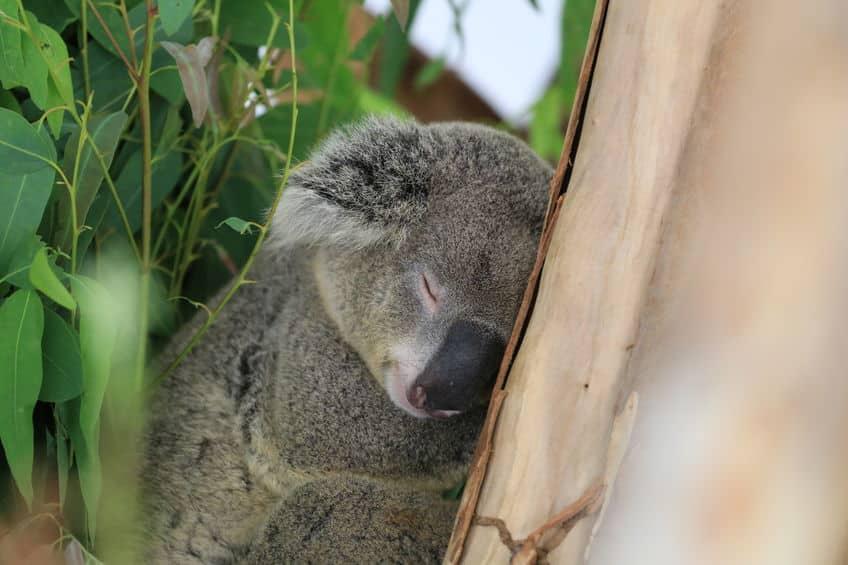 コアラはどうして1日20時間も寝るの?という雑学