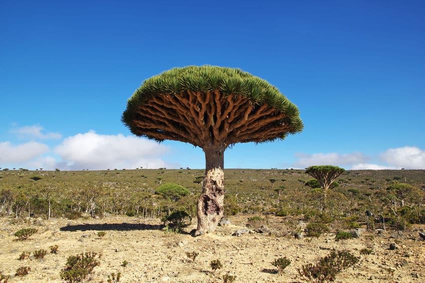 血のように赤い樹液を出す「竜血樹」についてのトリビア