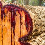 血のような樹液を出す木があるという雑学