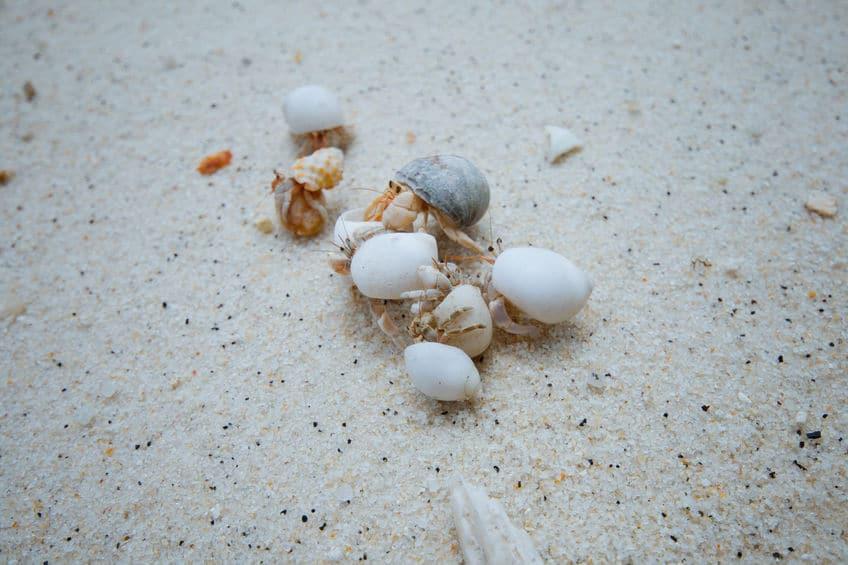 お古の巻貝の争奪戦をすることもあるというトリビア