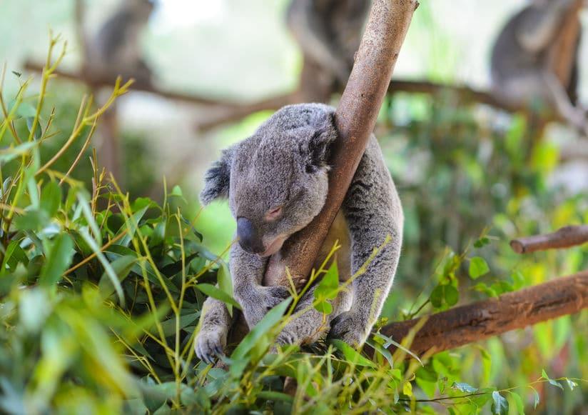 なんか切ない…コアラが1日20時間も寝る理由とは?【動画あり】についての雑学まとめ