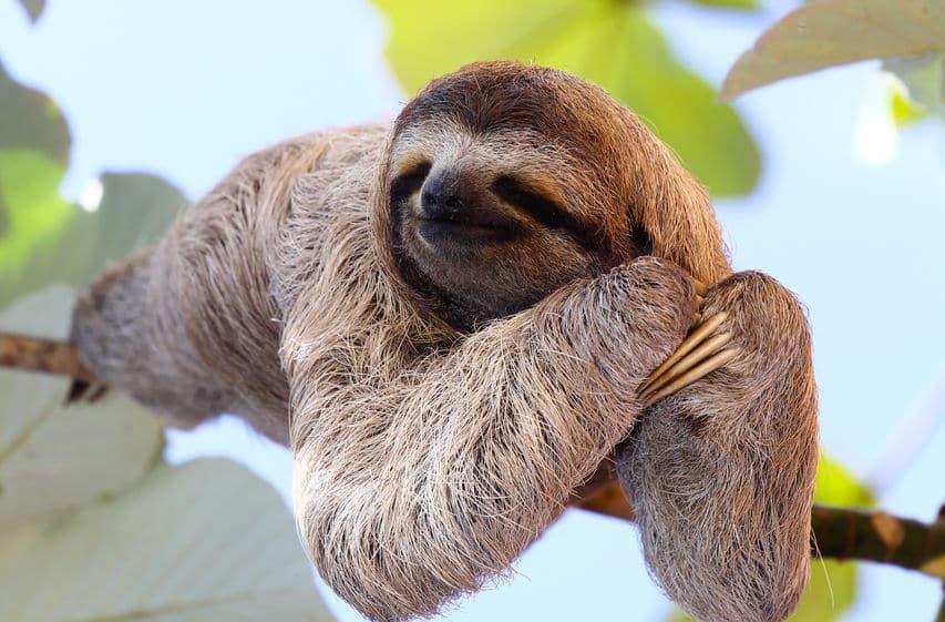 動物睡眠時間ランキング2位ナマケモノというトリビア