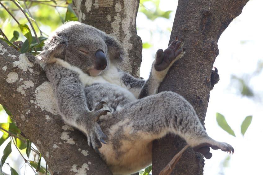 コアラはエネルギーを節約するために寝るというトリビア