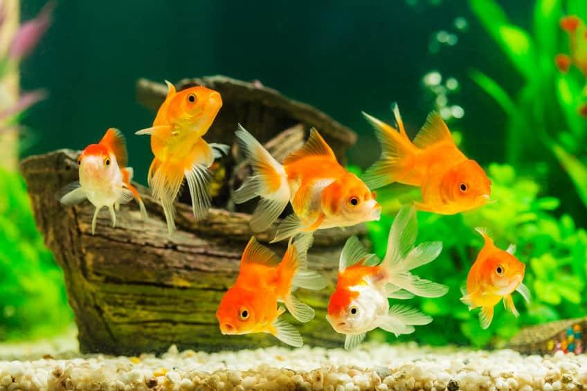 金魚のフンはなぜ長い?という雑学