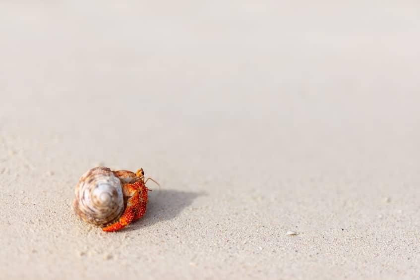 ヤドカリは成長して窮屈になると、より大きな貝殻を探して引っ越すというトリビア