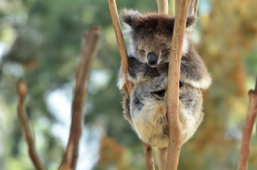 動物睡眠時間ランキング1位コアラというトリビア
