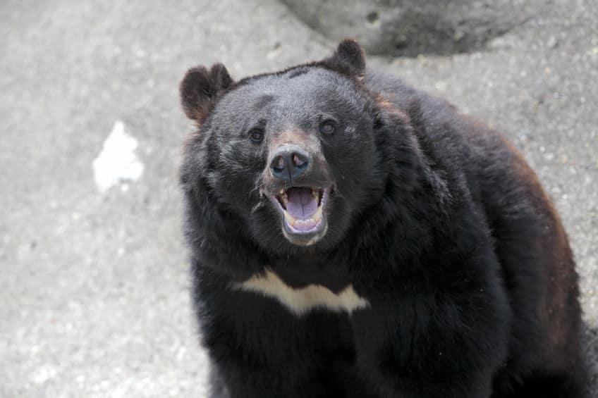 動物園のクマは冬眠する?しない?その理由についての雑学まとめ