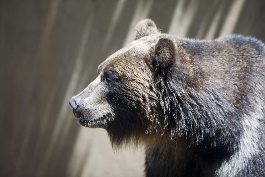 飼育下にあり餌が豊富なクマは冬眠しないというトリビア