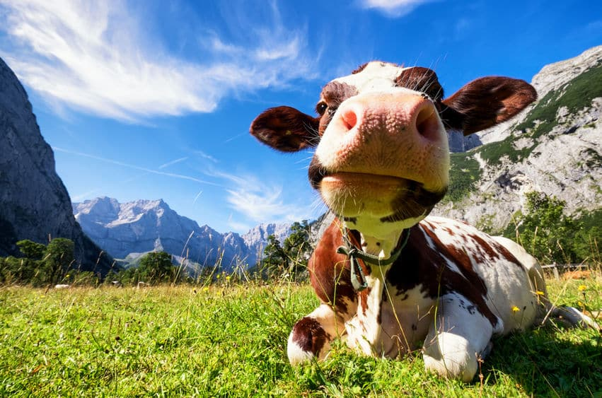 牛のだ液は1日100リットルという雑学