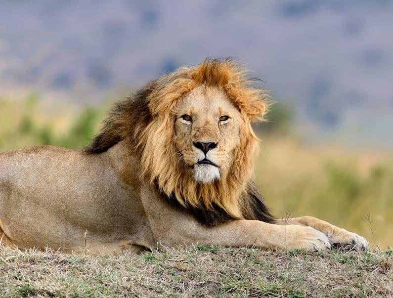 ライオンはアフリカ以外にインドにもいるという雑学
