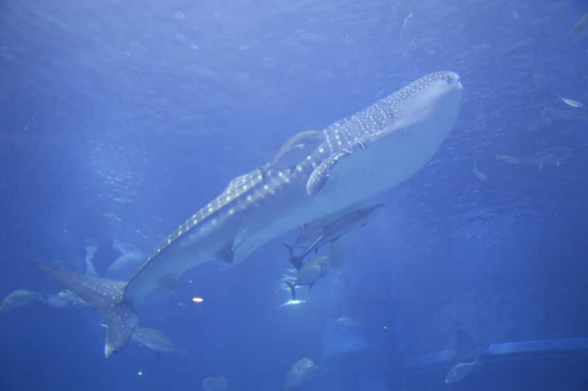 サメのような姿をしているが、じつはスズキの仲間であるというトリビア